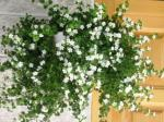 puna cvatnja